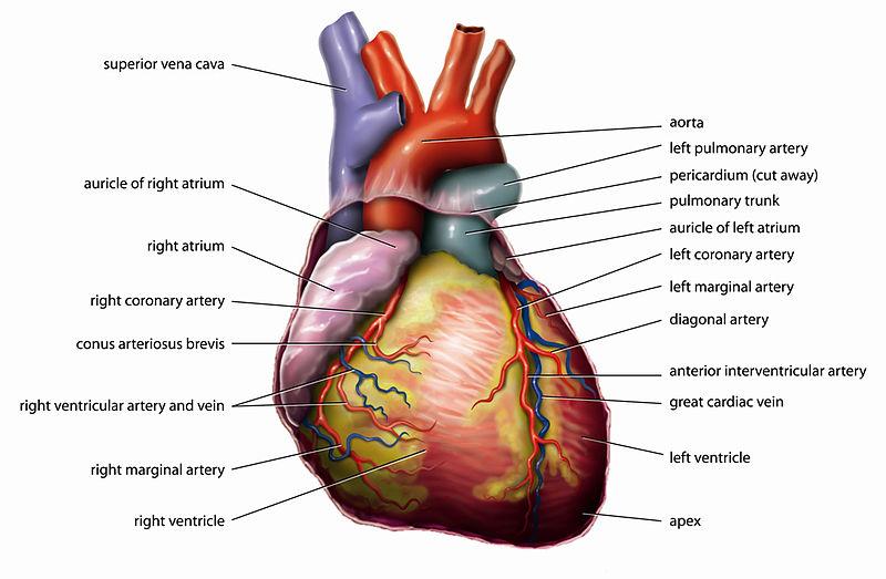 Видео Как Работает Сердце Человека Для Презентации