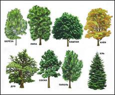 Названия деревьев на английском языке (с транскрипцией)